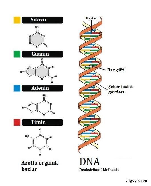 DNA'da bulunan bazlar